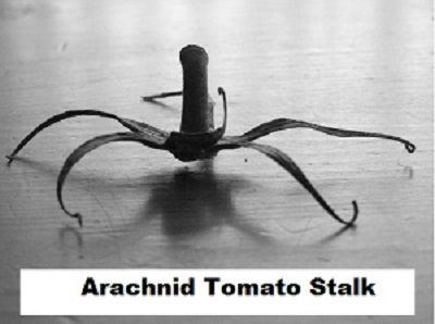 Arachnid tomato stalk.