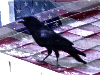 A crow in front of a US flag background
