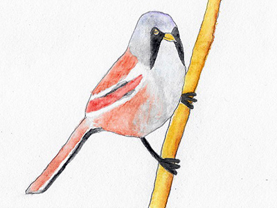 New in the Edited Guide: Bearded Tits - Misnamed Birds