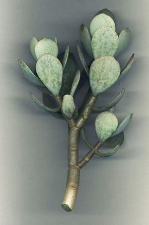 Crassula arborescence by Willem