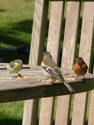 Various types of garden birds pecking seed from a table.