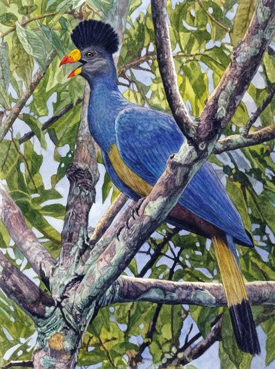 Great Blue Turaco by Willem