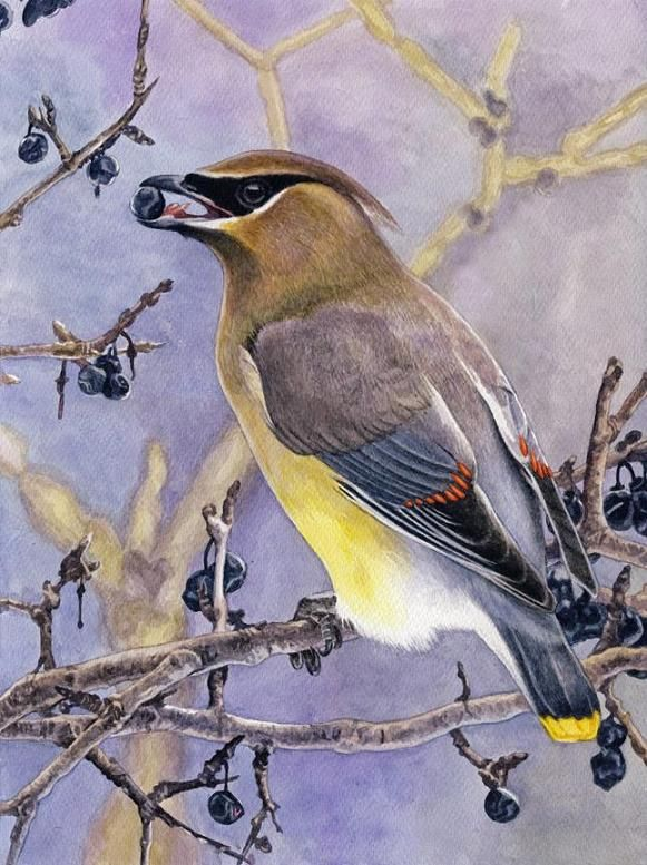 Cedar waxwing by Willem