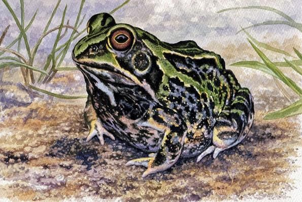 Ornate frog by Willem