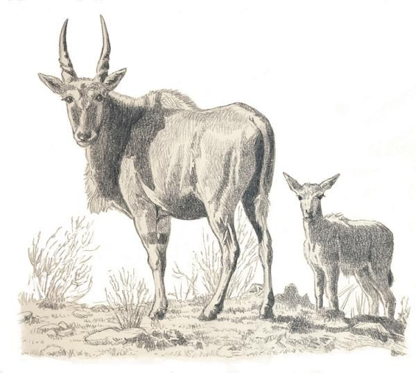 Eland cow and calf by Willem