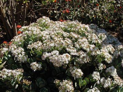 Crassula in garden.