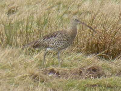Eurasian Curlew at Titchfield Haven February 2019