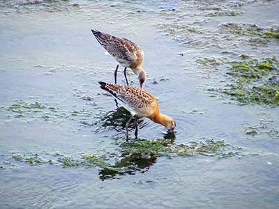 New in the Edited Guide: Godwits - a Family of Wading Birds