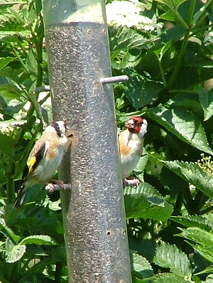 Goldfinches eating seed from a bird feeder.