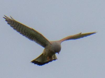 A Common Kestrel Hovering