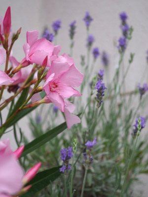 Lavender and oleander.
