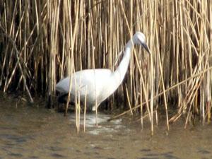 Little Egret wading among reeds