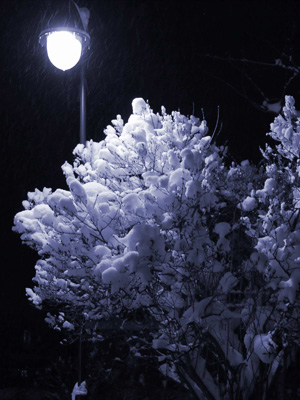 A snowy bush at night.