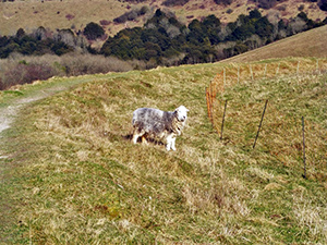 A sheep on Old Winchester Hill.