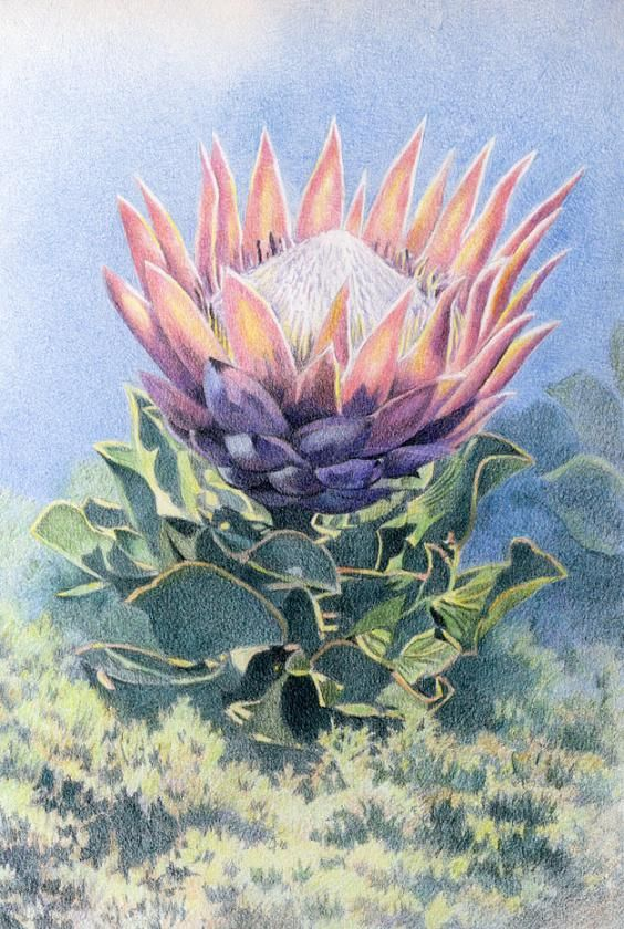 King Protea by Willem.