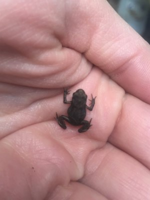 Tiny Toad from an Austrian Garden That Keeps Making the Post Editor Want to Exclaim 'We Tho't You Wuz a Toad!' by Tavaron da Quirm.