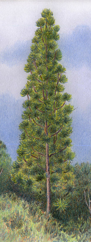 Watercolour image of a Wollemi Pine by artist Willem