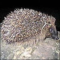 A hedgehog.