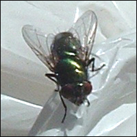 A close-up of a fly.