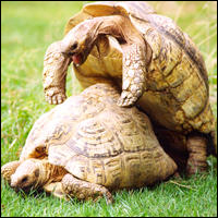 A pair of mating tortoises.
