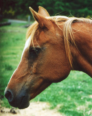 A chestnut Spanish Arabian mare called 'Tia Lucia'
