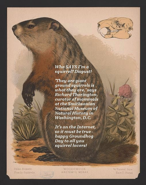 The groundhog is annoyed at being called a squirrel by a wildlife expert, who says he's just a large ground squirrel. Happy Groundhog Day to all you squirrel lovers.