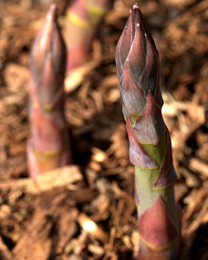 Asparagus spears growing on an allotment in south-east London
