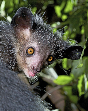 An aye-aye from the 2011 BBC Two documentary 'Madagascar'