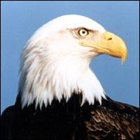 An American Bald Eagle.