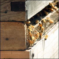 Honey bees in a wooden bee hive.