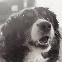 A border collie named Trixie.
