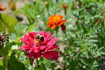 A bumblebee on a zinnia.