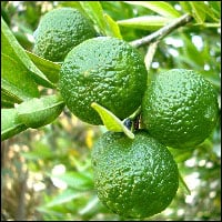 Limes hanging from a branch.