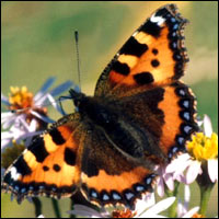 A small tortoiseshell butterfly rests on a plant.