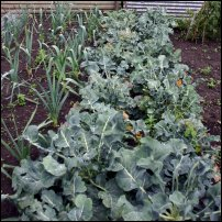 Cabbages on an allotment.
