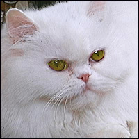 A very fluffy white Persian cat.
