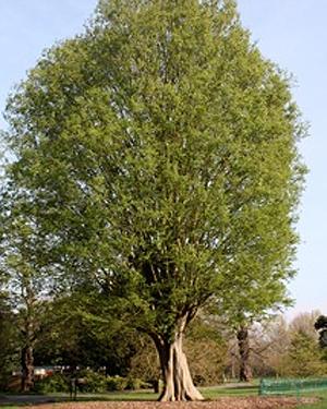 A Caucasian Elm tree