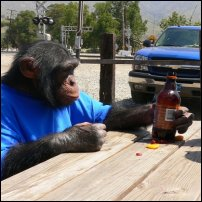 A chimp in a human setting.