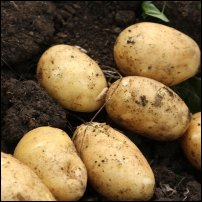 Potatoes, some of them with chits.