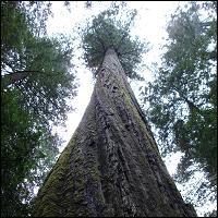 A coastal redwood tree.