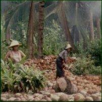 Coconut harvesting in Kon Samui, Thailand.