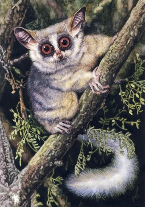 Bushbaby by Willem