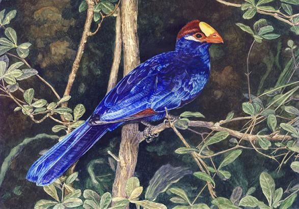 Violet turaco by Willem