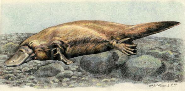 Platypus by Willem