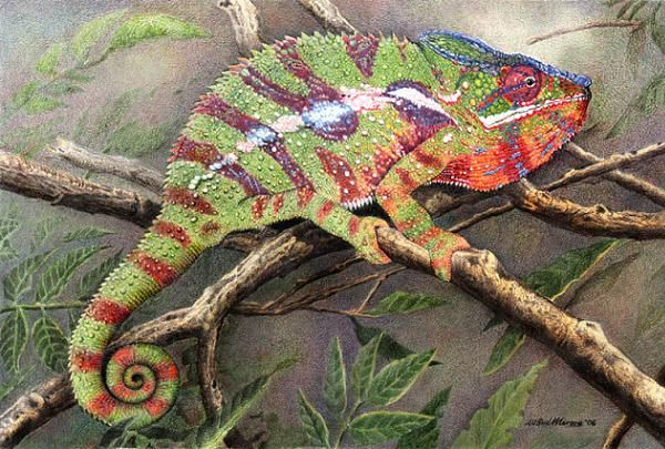 Panther Chameleon by Willem