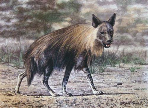 A brown hyena.