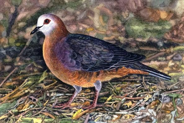 Cinnamon dove by Willem