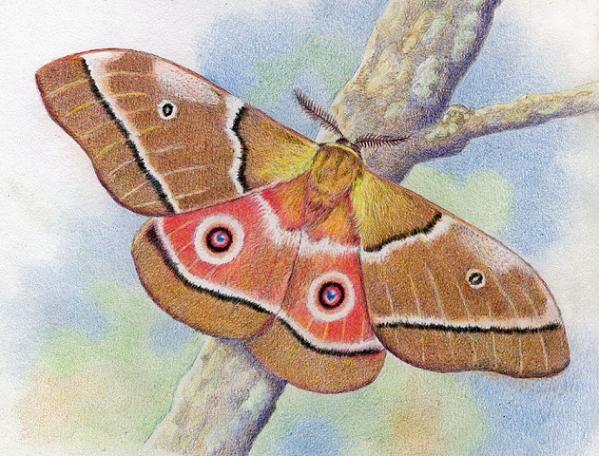 Mopane Moth by Willem.