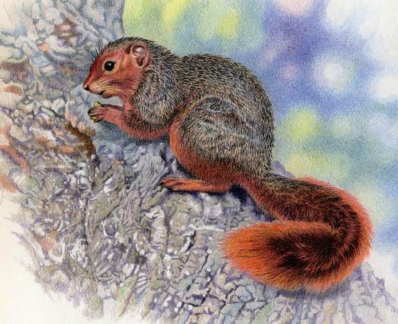 Red Bush Squirrel by Willem