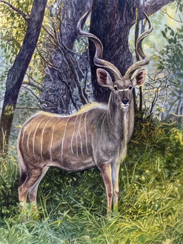 Greater Kudu by Willem